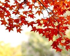 秋天的枫叶作文